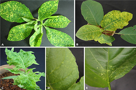 SUMMARY OF DISEASE SIGNS ON PLANT