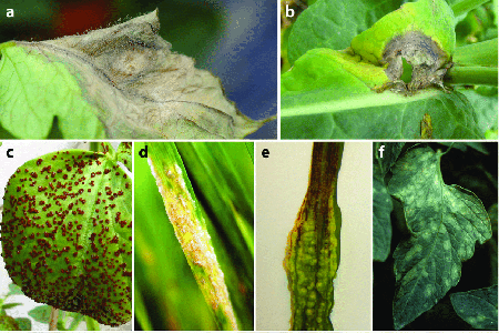 SUMMARY OF DISEASE SYMPTOMS ON PLANT